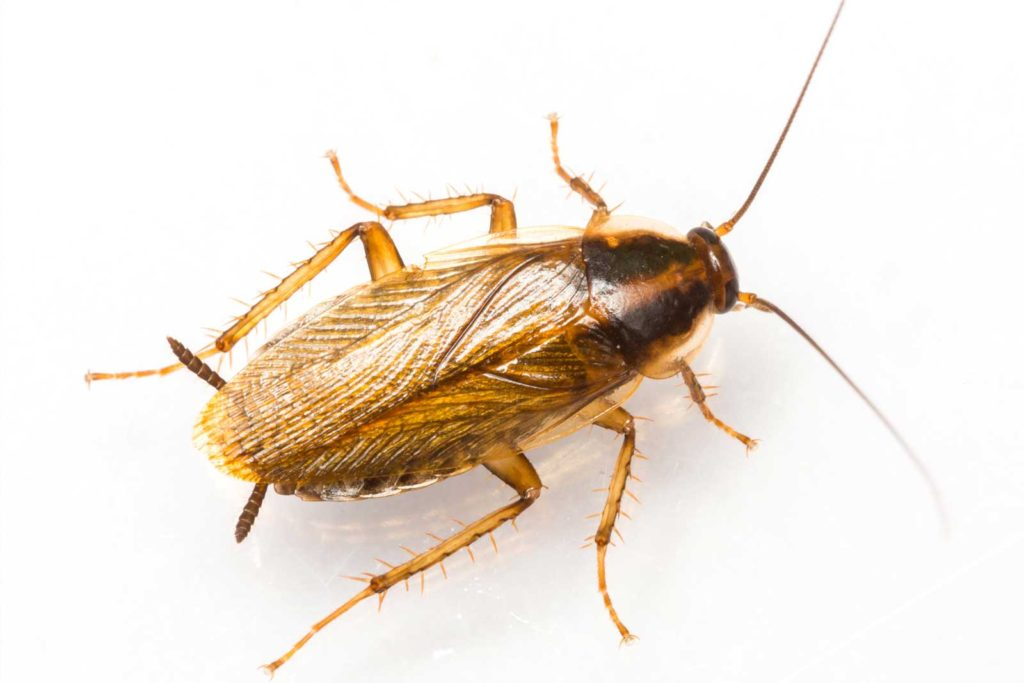 Image of German cockroach treatment by Masterkill