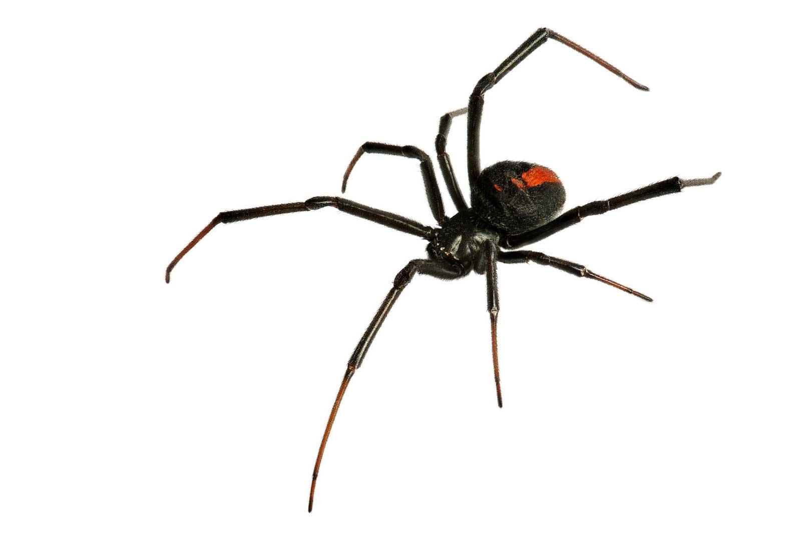 masterkill black back spider Control